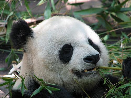 À la rencontre des pandas géants à Chengdu