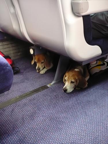 voyager en avion avec son animal