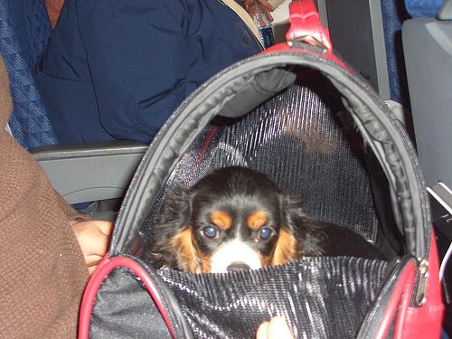 Voyager en avion avec son animal de compagnie : les régles à suivre